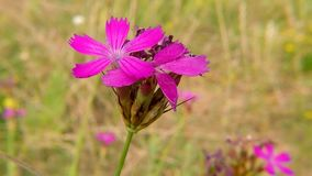 Carthusian Pink, medieval medicinal herb of the abbeys. In Germany stock video footage