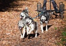 carting собака Стоковое Изображение