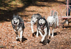 carting собака Стоковое Фото