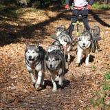 carting собака Стоковые Изображения RF
