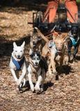 carting собака Стоковые Фото