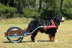 carting av hunden Arkivfoto