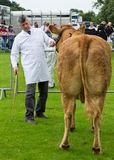 Cartmel Show 2011 Royalty Free Stock Photo