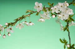 Cartão do feriado do cumprimento com flores de florescência Foto de Stock Royalty Free