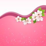 Cartolina d'auguri con i fiori della ciliegia Fotografia Stock Libera da Diritti