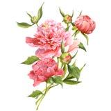 Cartolina d'auguri d'annata delle peonie rosa dell'acquerello Fotografia Stock