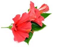Cartolina dai fiori dell'ibisco Fotografia Stock