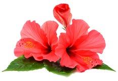 Cartolina dai fiori dell'ibisco Fotografie Stock Libere da Diritti