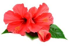 Cartolina dai fiori dell'ibisco Immagini Stock Libere da Diritti