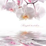 Orchidee Immagine Stock Libera da Diritti