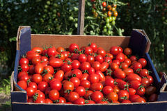 Carton box full of tomatoes Royalty Free Stock Images
