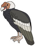 Cartoon animal - condor - flat coloring style Stock Image