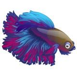 Cartoon blue betta fish, siamese fighting fish, betta splendens isolated on white background. Vector illustration. Cartoon blue betta fish, siamese fighting Stock Photo