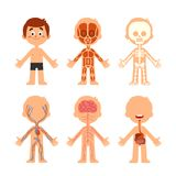 Cartoon boy body anatomy. Human biology systems anatomical chart. Skeleton, veins system and organs vector illustration stock illustration