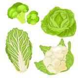 Chinese Cabbage. Isolated cabbage on white background. EPS 10. Vector illustration. Cartoon cabbage set. Cabbage isolated on white background. EPS 10. Vector Stock Image