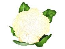 Cartoon Cauliflower Clipart Royalty Free Stock Image