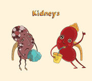 Cartoon character human kidneys. Cartoon vector illustration of healthy and sick human kidneys. Funny educational illustration for kids. Isolated characters Stock Image