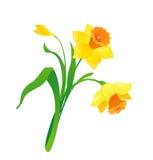 Cartoon daffodil. Illustration of a beautiful cartoon daffodil Stock Photo