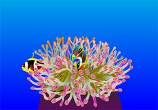 Clownfish in a colorful sea anemone Stock Image