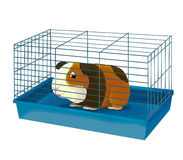 The cartoon - guinea pig - illustration for the children Stock Photos