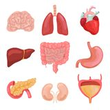 Cartoon human body organs. Healthy digestive, circulatory. Organ anatomy icons for medical chart vector set royalty free illustration