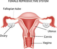 Cartoon illustration of Female reproductive system Stock Photos