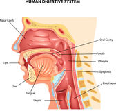 Cartoon illustration of Human Digestive System Royalty Free Stock Photography