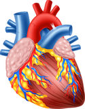 Cartoon Illustration of Human Hearth Anatomy Royalty Free Stock Images