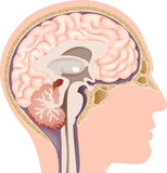 Cartoon illustration of Human Internal Brain Anatomy Stock Photo