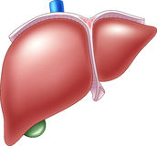 Cartoon Illustration of Human Liver Anatomy Royalty Free Stock Image