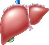 Cartoon Illustration of Human Liver Anatomy Royalty Free Stock Image