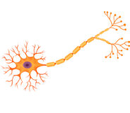 Cartoon illustration of Human Neuron Anatomy Royalty Free Stock Images