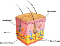 Cartoon illustration of The layers of skin and pores anatomy Stock Photography