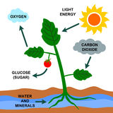 Photosynthesis. A cartoon illustration about the photosynthesis process Royalty Free Stock Photos