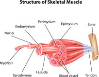 Cartoon illustration of Structure Skeletal Muscle Anatomy Stock Image