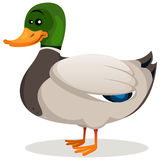 Cartoon Mallard Duck Royalty Free Stock Images