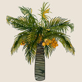 Cartoon palm tree with coconuts Royalty Free Stock Photo