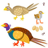 Cartoon pheasant family. Illustration of birds on white background Royalty Free Stock Photos