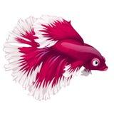 Cartoon pink betta fish, siamese fighting fish, betta splendens or Halfmoon betta isolated on white background. Vector. Cartoon pink betta fish, siamese fighting Stock Photography