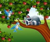 Cartoon raccoon sleep on the apple tree Royalty Free Stock Images