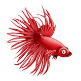 Cartoon red betta fish, siamese fighting fish, betta splendens crown tail isolated on white background. Vector cartoon.  Royalty Free Stock Images