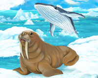 Cartoon scene - arctic animals - walrus Stock Images