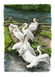 Cartoon scene with birds resting near the water - pelicans. Happy and funny traditional illustration for children - scene for different usage Stock Photography