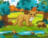 Cartoon scene - wild america animals - cougar - raccoon Royalty Free Stock Image