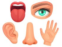 Cartoon sensory organs. Senses organs, eyes vision, nose smell, tongue taste buds, skin touch and hearing ears vector. Cartoon sensory organs. Senses organs stock illustration
