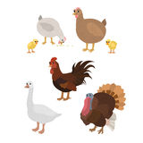 Cartoon set: chicken cock chickens goose turkey. Vector cartoon animals: chicken cock chickens goose turkey. The drawn set of pet birds. Collection of stylized Stock Photo