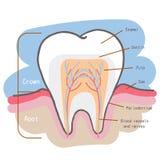 Cartoon tooth chart stock illustration