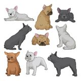 Cartoon vector set of boston terrier puppies in different poses. Small domestic dog with wrinkled muzzle and smooth coat royalty free illustration