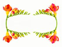 Cartouche of beautiful fressia flower isolated stock images