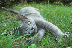 Cartusian cat. Playing on grass Stock Photography